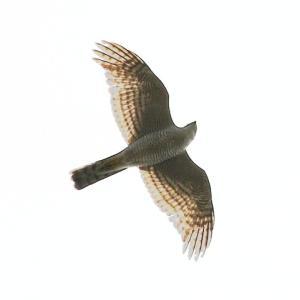 【野鳥】角島の猛禽類ハイタカとミサゴ!