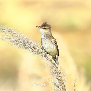 【野鳥】オオヨシキリは葦原におくのが良い?
