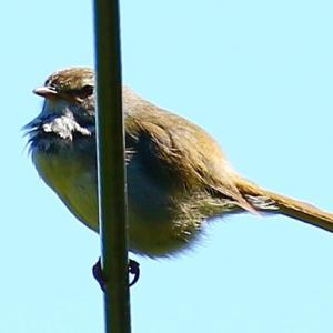 【野鳥】ウグイス幼鳥が鳴く~♪