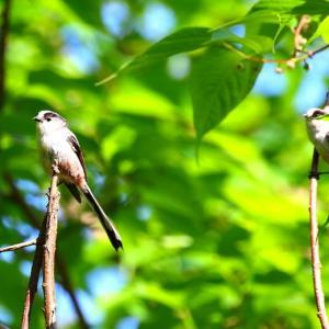 【野鳥】5月最後の野鳥 エナガ・シジュウカラ・カワラヒワ・ミサゴ・ホオジロ・トビ