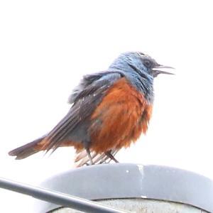 【野鳥】隠れた名鳥 イソヒヨドリ♂