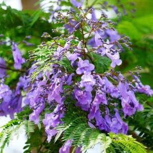 【花】ジャガランダ(紫雲木)が見頃です~♪