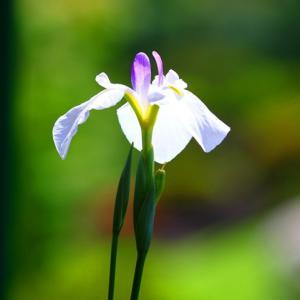 【花】冠梅園の菖蒲がまだ見れます~♪