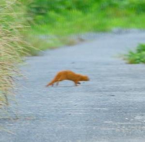 【小動物】前方を横切るイタチちゃん!