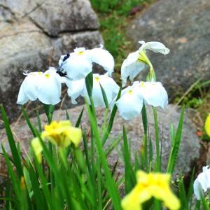 【花】冠梅園の菖蒲2020