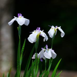 【花】冠梅園の菖蒲たち~♪