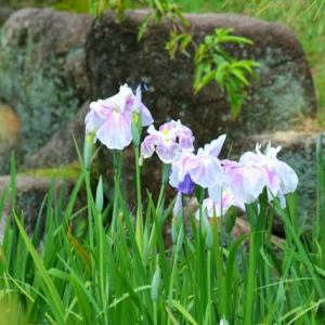 【花】冠梅園の菖蒲たち(2)