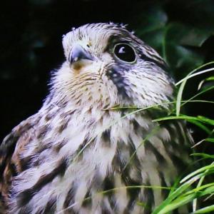 【野鳥】猛禽類チョウゲンボウが調布市駅前に現れた情報で我が家に来た写真も発信!
