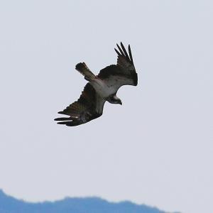 【野鳥】猛禽類ミサゴの魚獲りシーン