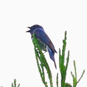 【野鳥】オオルリちゃん、樹冠で鳴く秘密~♪