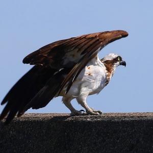 【野鳥】いざ出漁!(猛禽類ミサゴ)