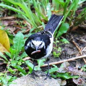 【野鳥】セグロセキレイの給餌が可愛い~♪