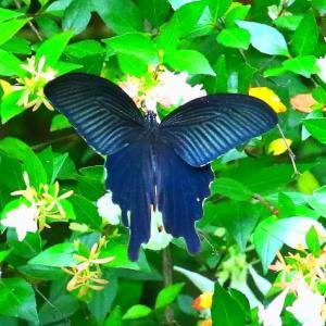 【昆虫】クロアゲハ(周南市万葉の森)