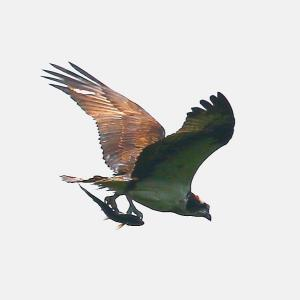 【野鳥】向道湖のミサゴが掴まえたお魚は?