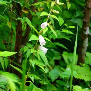 万葉の森の花 ホタルブクロ・ヤブミョウガ・ヒオウギスイセン