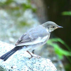 【野鳥】可愛すぎるセグロセキレイ幼鳥~♪