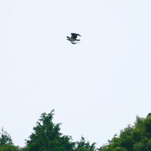 【野鳥】大空を飛ぶ魚!?