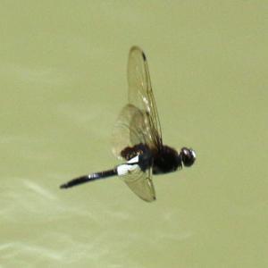 【昆虫】万葉の森の池にコシアキトンボが居ました~♪