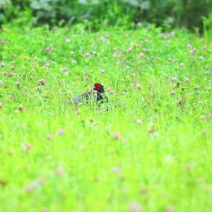 【野鳥】花と雉!