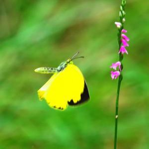 【昆虫】キチョウ(黄蝶)が綺麗~♪