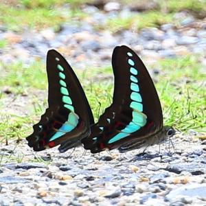 【昆虫】アオスジアゲハが綺麗です~♪