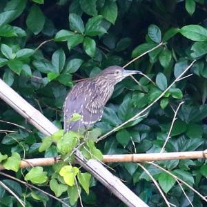 【野鳥】ホシゴイ・セグロセキレイ幼鳥・ツバメ・カワラバト・アオサギ