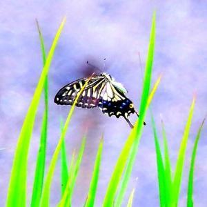 【昆虫】キアゲハかナミアゲハか判りませんが・・・