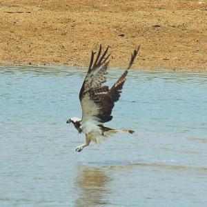 【野鳥】島田川河口のミサゴとチヌ