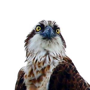 【野鳥】猛禽類ミサゴ!