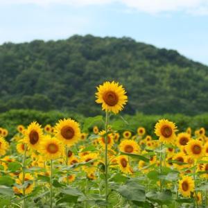 【花】赤いヒマワリ、白いヒマワリ、黄色いヒワマリが約22万本咲いています~♪