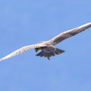 【野鳥】猛禽類ハヤブサがウミネコを襲う!(その6)ホバリングなど13枚連続