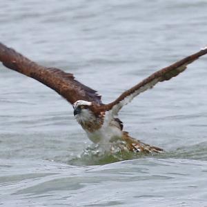 【野鳥】ミサゴちゃん、獲物が大きくて持ち上がらない一休みのシーン!