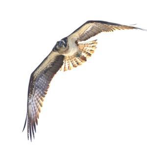 【野鳥】猛禽類ミサゴのパトロール