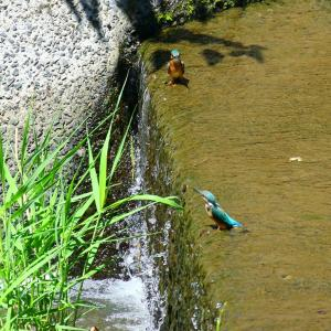 【カワセミの里】真夏のカワセミ幼鳥2羽が川の中~♪