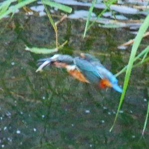【カワセミの里】お魚を獲ったカワセミちゃん~♪