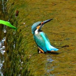 【カワセミの里】カワセミ2羽が同時に水中ダイビング~♪