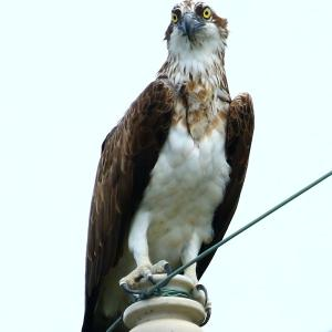 【野鳥】猛禽類ミサゴの見張り