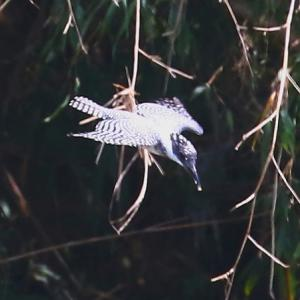 【野鳥】ヤマセミちゃんダイブ 水面に突き刺さる!
