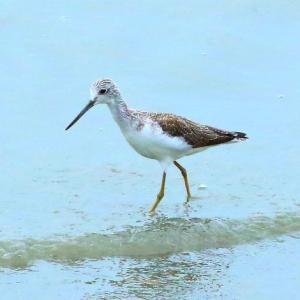 【野鳥】アオアシシギと思うのですが・・・(きらら浜自然観察公園)