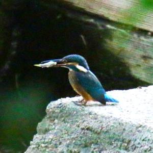 【カワセミの里】堰でお魚を獲ったカワセミちゃん~♪