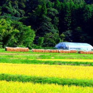 【風景】秋の風物詩(稲の穂架と彼岸花)