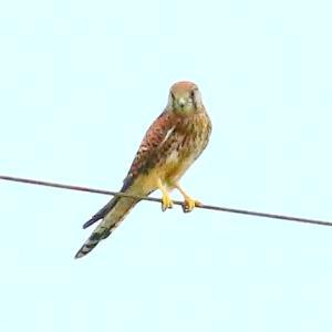 【野鳥】猛禽類チョウゲンボウが飛ぶ~♪