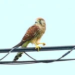【野鳥】我が家に来た猛禽類チョウゲンボウ!