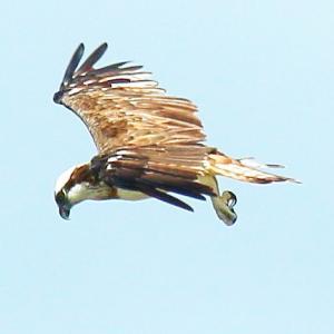 【野鳥】猛禽類ミサゴはこうして水中から飛び上がる! 連続12枚