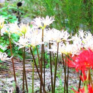 【花】ヒガンバナ紅・白・黄