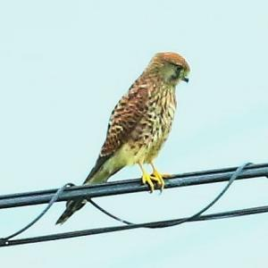 【野鳥】猛禽類チョウゲンボウが電線に飛び移る場合~♪
