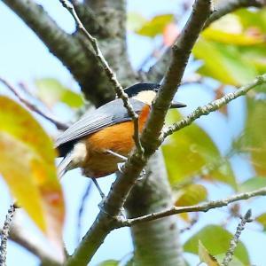 【野鳥】ヤマガラ・メジロ・オオルリ♀・センダイムシクイ