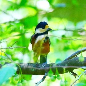 【野鳥】ヤマガラが可愛い、後、オオルリ♀など~♪