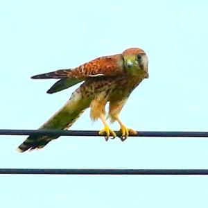 【野鳥】また、猛禽類チョウゲンンボウが飛ぶ~♪