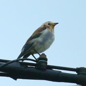 【野鳥】今日、コムクドリがやって来ました~♪